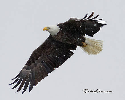 Bald Eagle Flying in Snow by Deb Henman