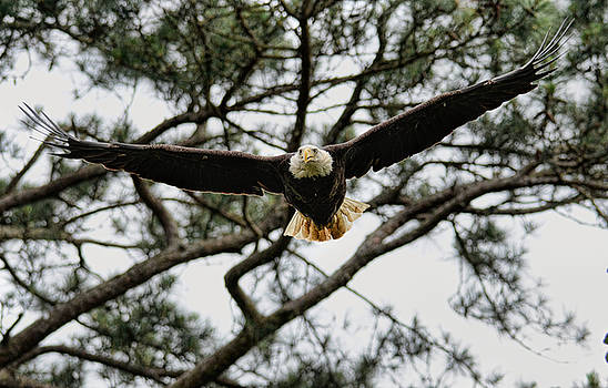 Bald Eagle Flying Out Of Tree Shiloh Tennessee 052120152561 by WildBird Photographs