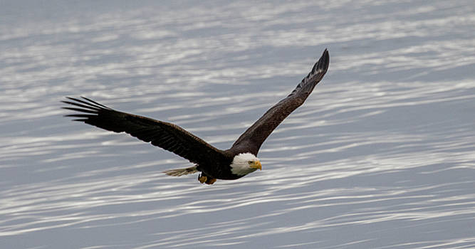 Gloria Anderson - Bald eagle flying over water