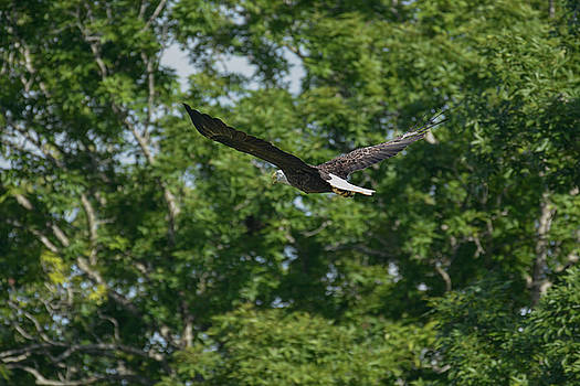 Bald Eagle Flying Through The Trees Shiloh Tennessee 052620156492 by WildBird Photographs