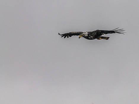 Bald eagle gliding by Timothy Latta