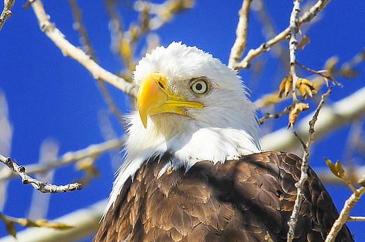 Bald Eagle Head Shot by Juli Ellen