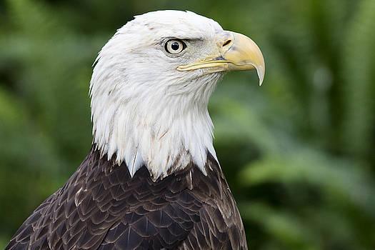 Bald Eagle Headshot by John McQuiston