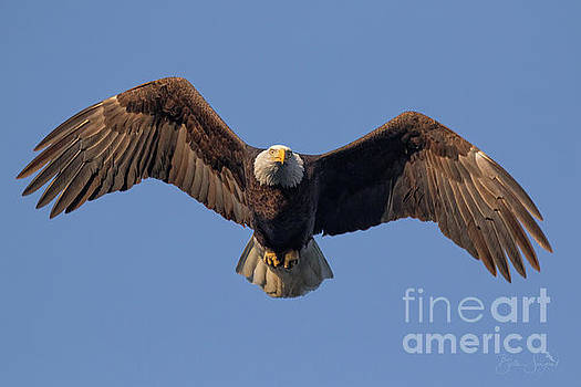 Bald Eagle Hunt by Beth Sargent