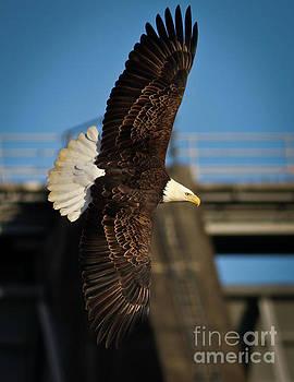 Bald Eagle II by Douglas Stucky