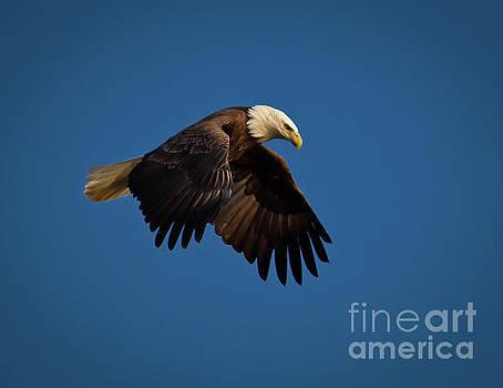 Bald Eagle III by Douglas Stucky