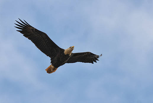 Bald Eagle In Flight 022720163613 by WildBird Photographs