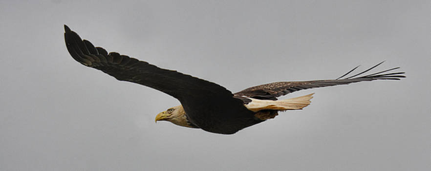 Bald Eagle In Flight 022720164146 by WildBird Photographs