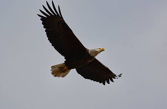 Bald Eagle In Flight 031520168774 by WildBird Photographs