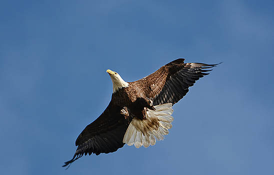 Bald Eagle In Flight 031520168884 by WildBird Photographs