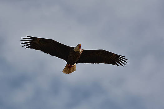 Bald Eagle in Flight 031520168900 by WildBird Photographs