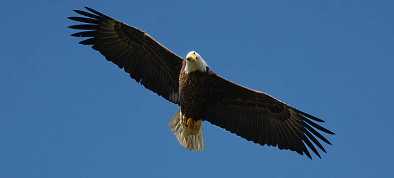Bald Eagle In Flight 031520169038 by WildBird Photographs