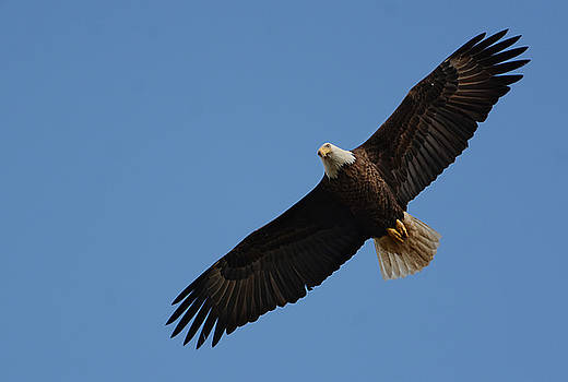 Bald Eagle In Flight 031520169113 by WildBird Photographs