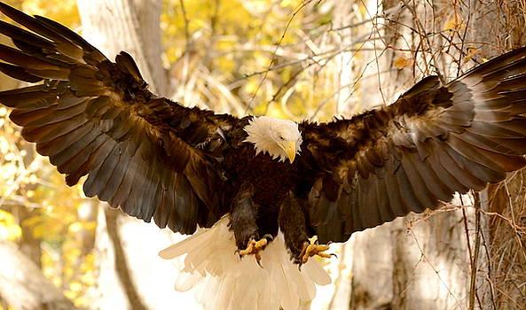 Bald Eagle in Flight by Amy McDaniel