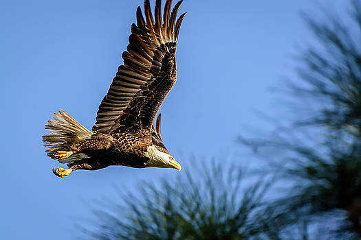 Bald Eagle in Flight by Robert Mitchell