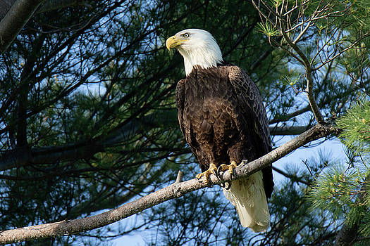 Bald Eagle in Providence by Peter Green