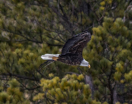 Ray Van Gundy - Bald Eagle in Spearfish Canyon