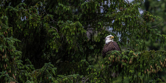Bald Eagle in the tree by Timothy Latta