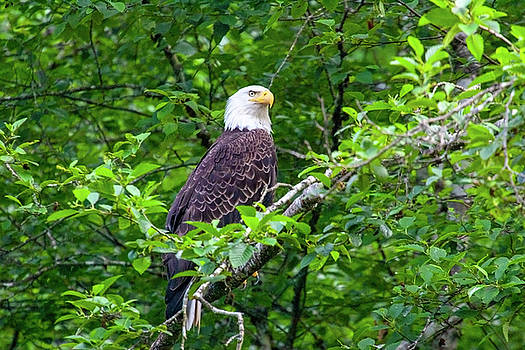 Bald Eagle in Tree by Anthony Jones