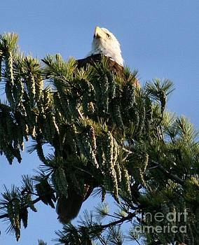 Sandra  Huston - Bald Eagle in Tree Top