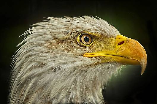 Bald Eagle by Jeff S PhotoArt