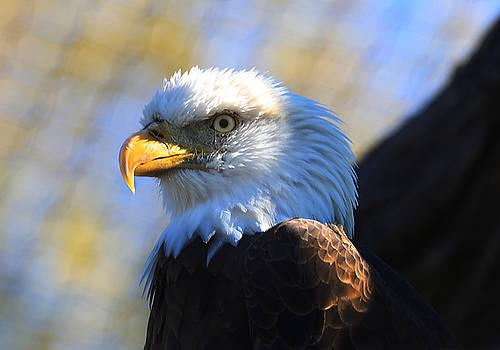 Bald Eagle  by Jerome Lynch