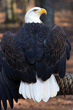 Jill Lang - Bald Eagle
