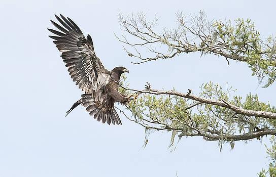 Tam Ryan - Bald Eagle Juvenile