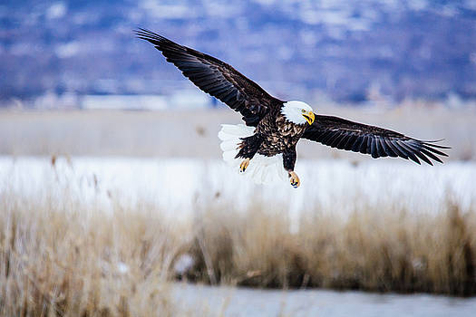 Bald Eagle landing by Bryan Carter