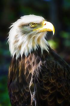 Bald Eagle by Linda Tiepelman