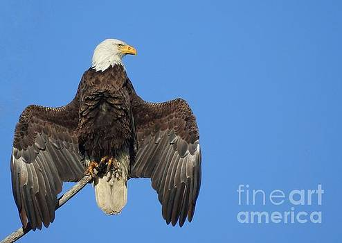 Bald Eagle by Lisa Plymell