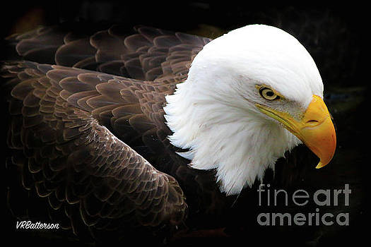 Bald Eagle Memphis Zoo by Veronica Batterson