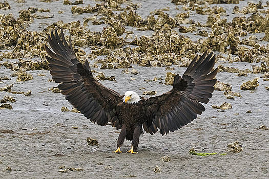 Wes and Dotty Weber - Bald Eagle Nailing a Landing