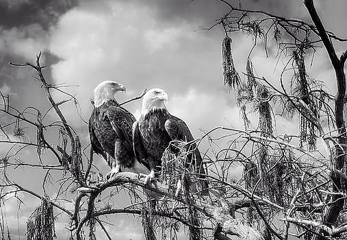 Bald Eagle Nesting Pair by Mark Andrew Thomas