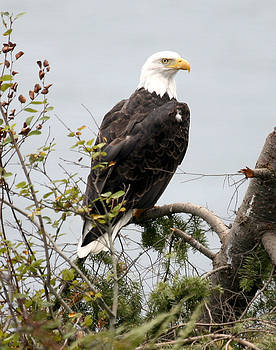 Bald Eagle NW3038 by Mary Gaines