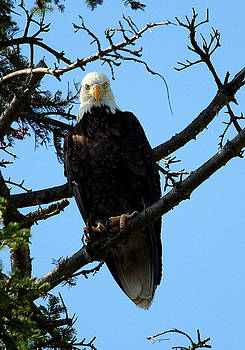 Bald Eagle NW3058 by Mary Gaines
