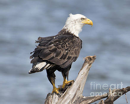 Bald Eagle on a Perch by Loriannah Hespe