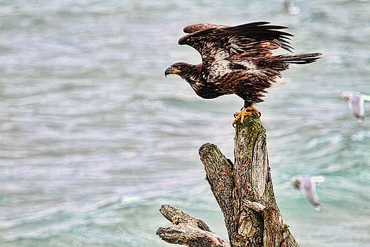 Peggy Collins - Bald Eagle on Driftwood at the Beach