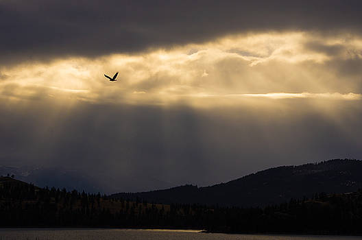 Jedediah Hohf - Bald Eagle Over Flathead Lake