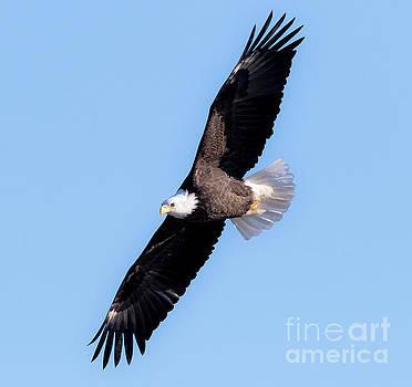 Bald Eagle Overhead  by Ricky L Jones