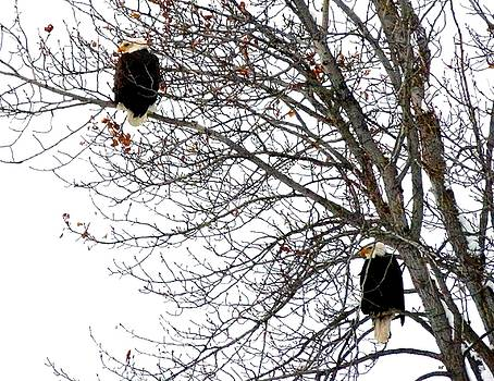 Bald Eagle Pair by Will Borden