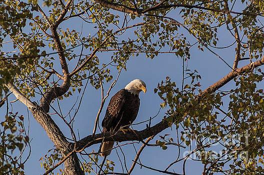 Bald Eagle by Patrick Shupert
