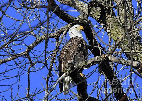 Bald Eagle by Paula Guttilla