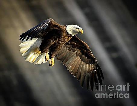 Bald Eagle Prepares to Dive by Douglas Stucky