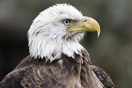 Bald Eagle Profile by John McQuiston