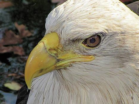 Bald Eagle - Profile View by Jake Danishevsky