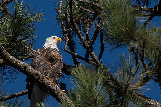 Bald Eagle Resting by John Pavolich
