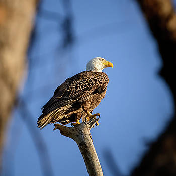 Bald Eagle by Robert Mitchell