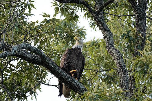 Bald Eagle Shiloh TN 052620156705 by WildBird Photographs