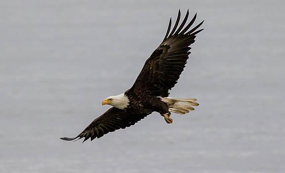 Gloria Anderson - Bald eagle soaring